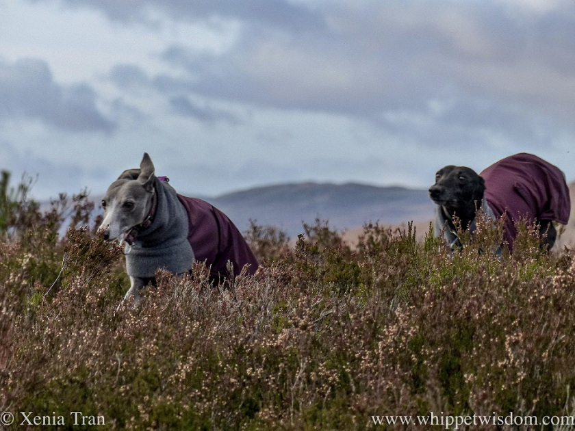 close up shot of a blue and white whippet followed by a black whippet in winter jackets running through heather on a hill top
