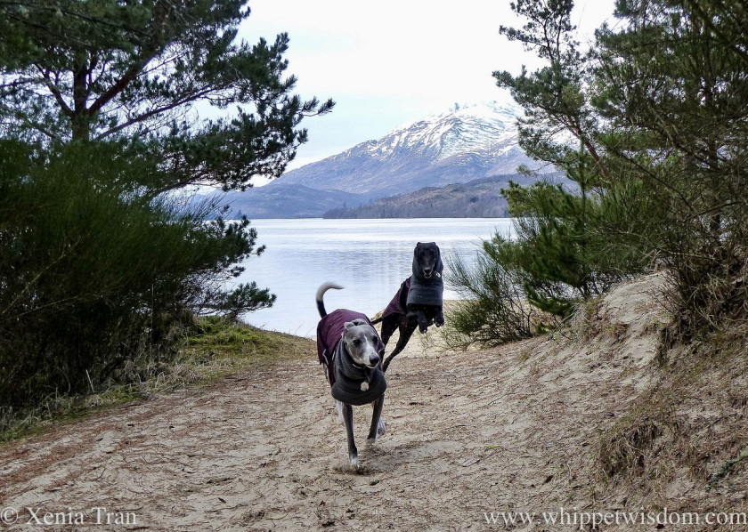 two whippets in winter jackets flying up a sandy trail