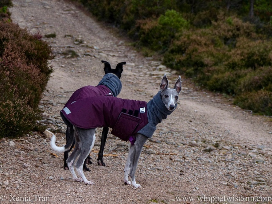 two whippets in jackets at a fork on the mountain trail