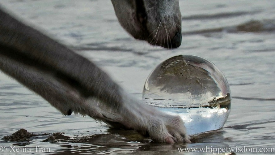 close up of a whippet's nose and paws around a lensball in the surf