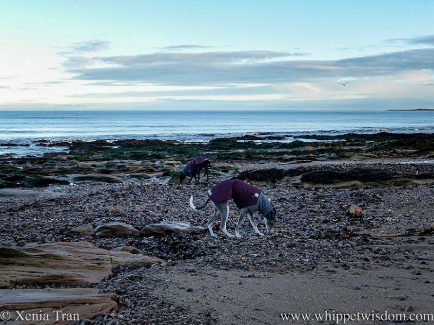 two whippets in jackets sniffing between the stones on the beach