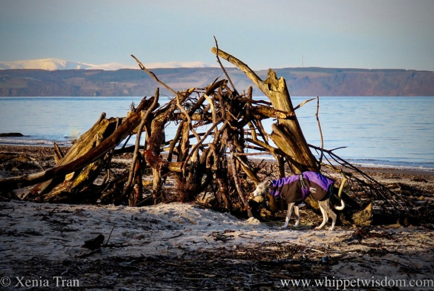 a whippet in a winter jacket by a hut made from driftwood on the beach