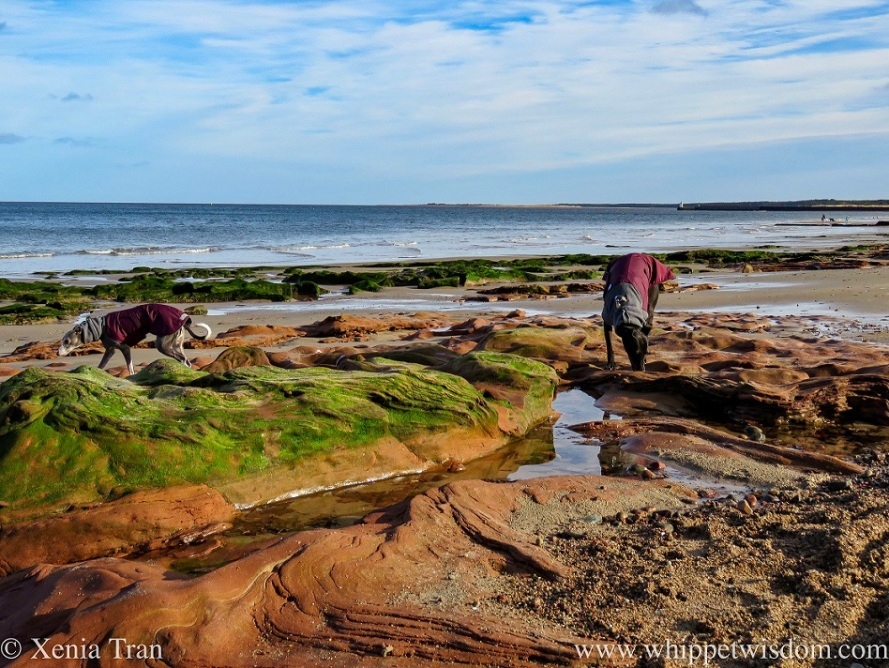 two whippets in winter jackets by outcrops and rock pools