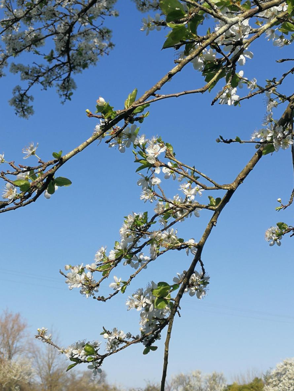 blue sky and blossom