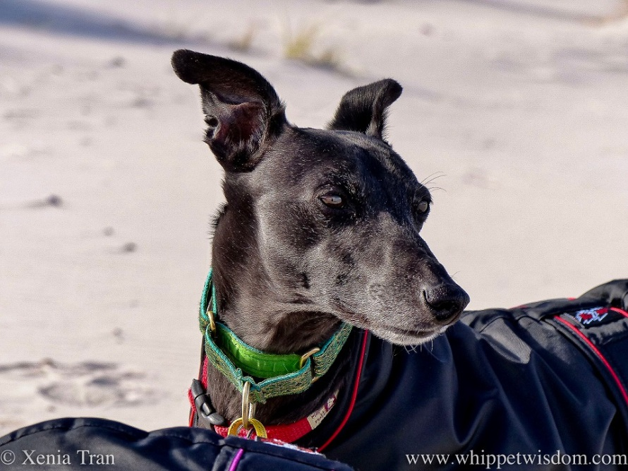 close up of a black whippet in a black jacket on the beach looking into the distance