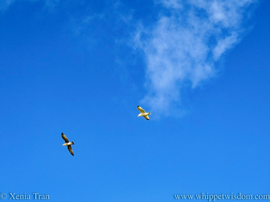 two herring gulls soaring in a blue sky