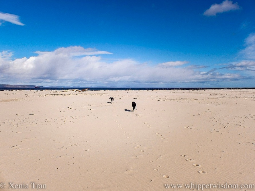 two whippets running across a wide beach towards the sea