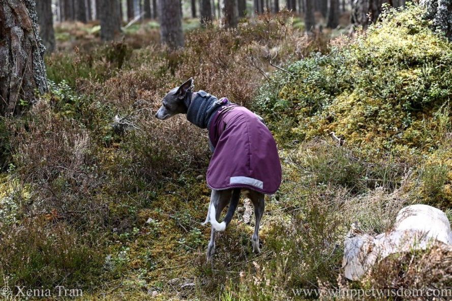 a whippet in a winter jacket on a narrow forest trail