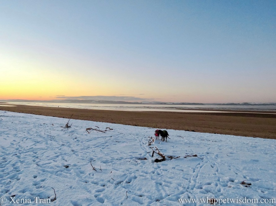 two whippets in winter jackets on a snowy beach at dusk