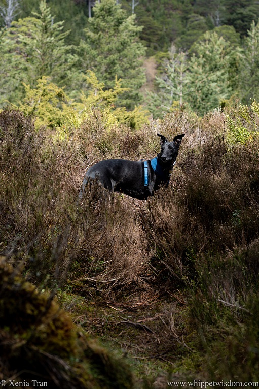 a black whippet in a blue harness on a narrow woodland trail