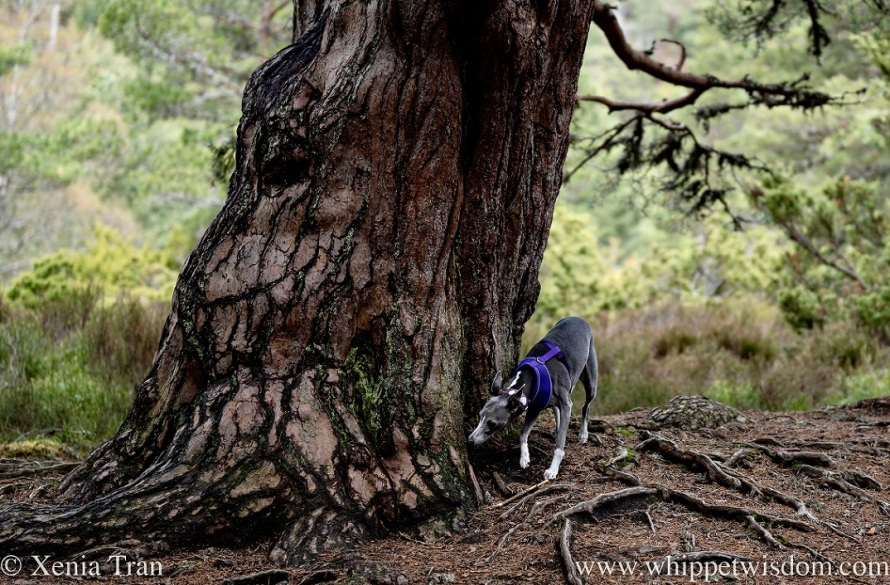 a blue and white whippet sniffs the wide trunk of an ancient pine
