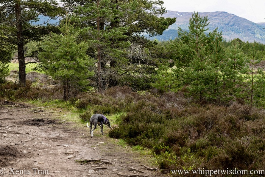 a blue and white whippet on a forest trail in spring