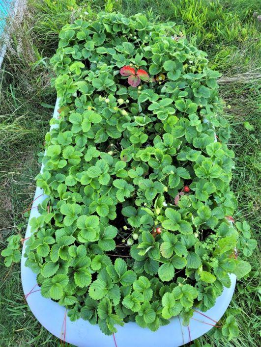 resized strawberries in tub 092921